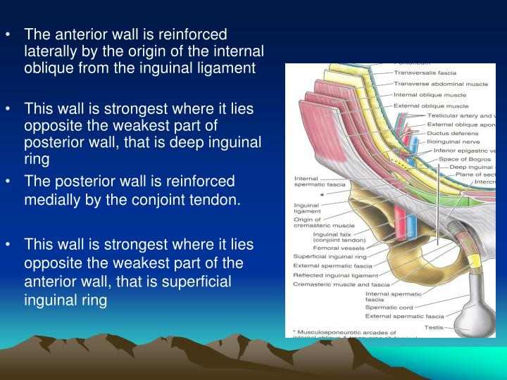 The anterior wall is reinforced  laterally by the origin of the internal oblique from the inguinal ligament