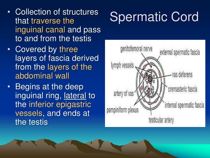 Spermatic Cord