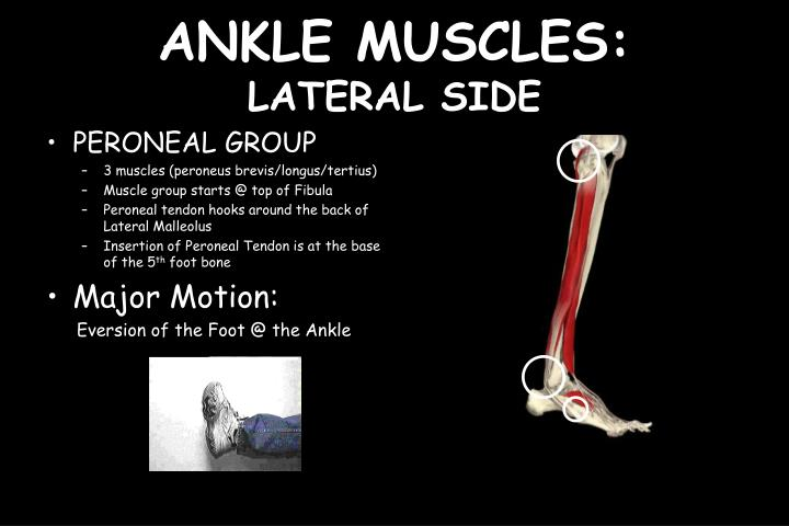 ANKLE MUSCLES: