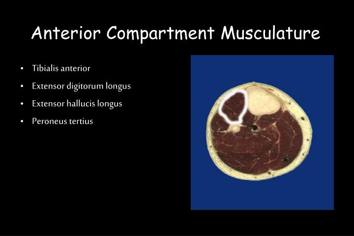 Anterior Compartment Musculature