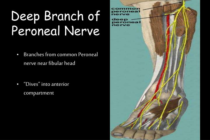 Deep Branch of Peroneal Nerve