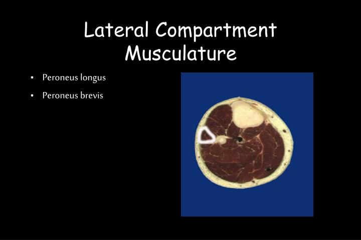 Lateral Compartment Musculature