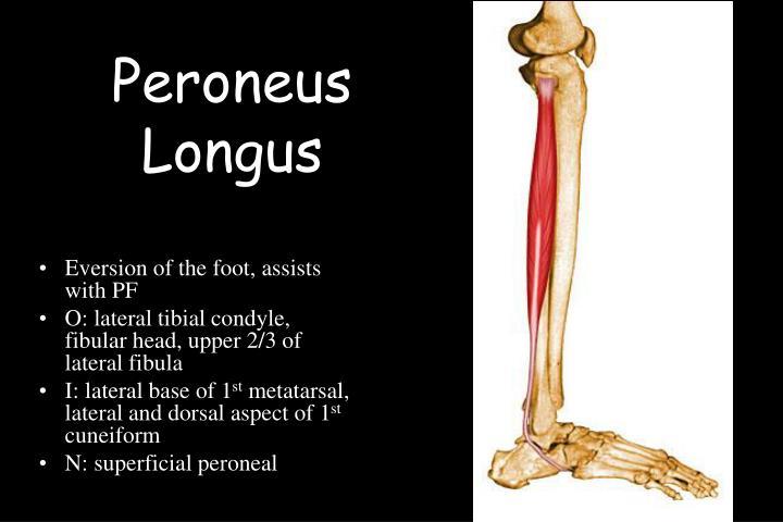 Peroneus Longus
