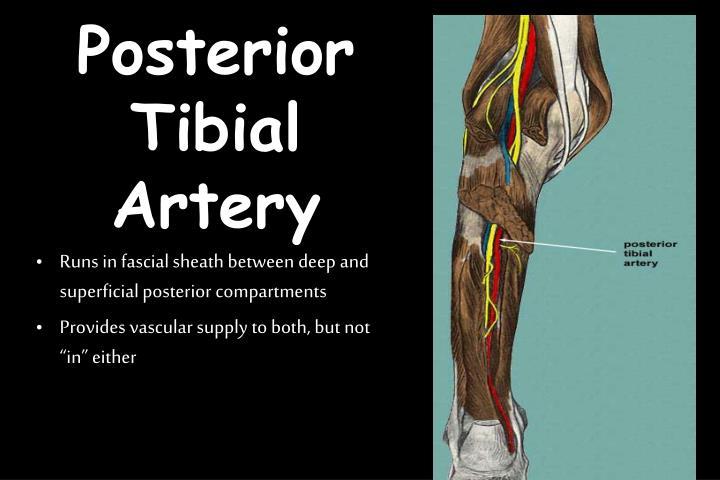 Posterior Tibial Artery