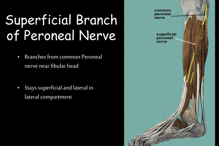 Superficial Branch of Peroneal Nerve