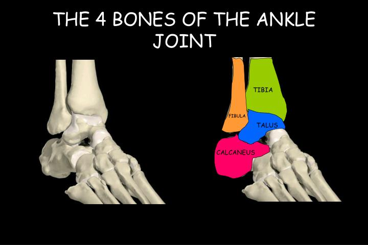The 4 bones of the ankle joint