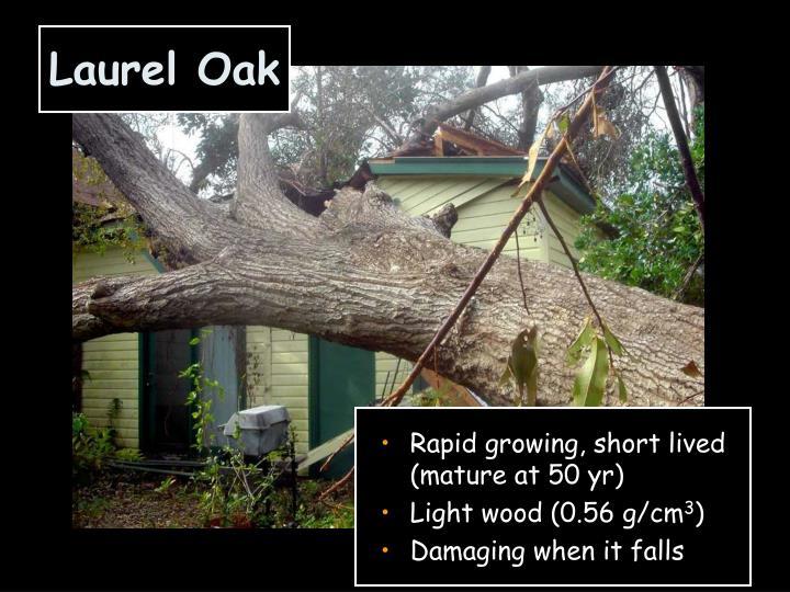 Laurel Oak