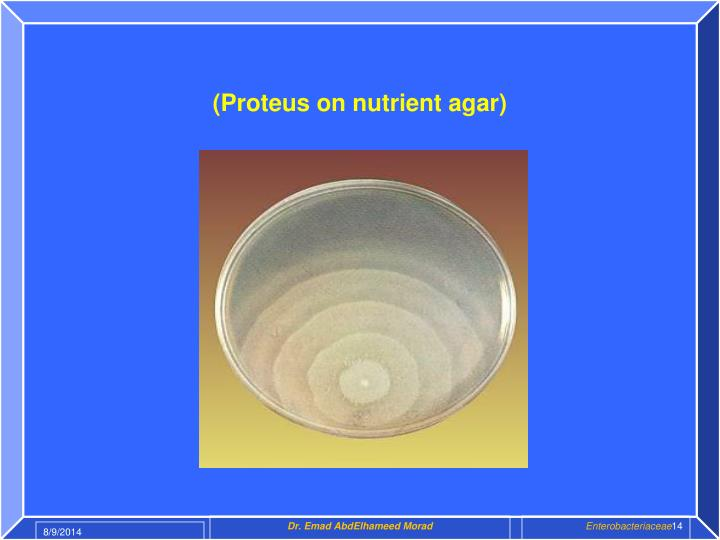 (Proteus on nutrient agar)
