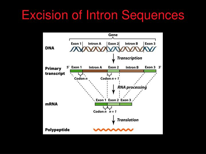 Excision of Intron Sequences