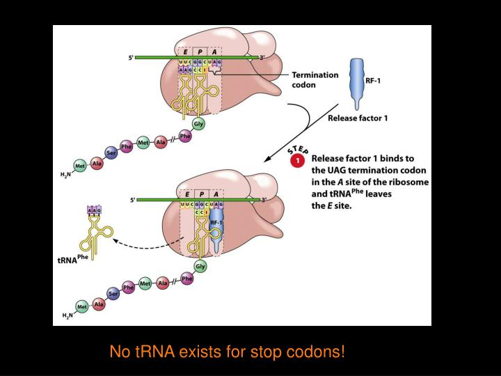 No tRNA exists for stop codons!