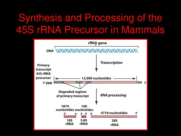 Synthesis and Processing of the 45S rRNA Precursor in Mammals