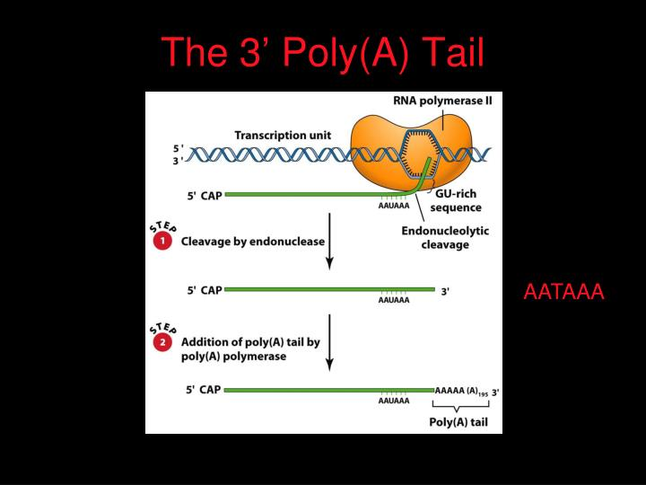 The 3' Poly(A) Tail