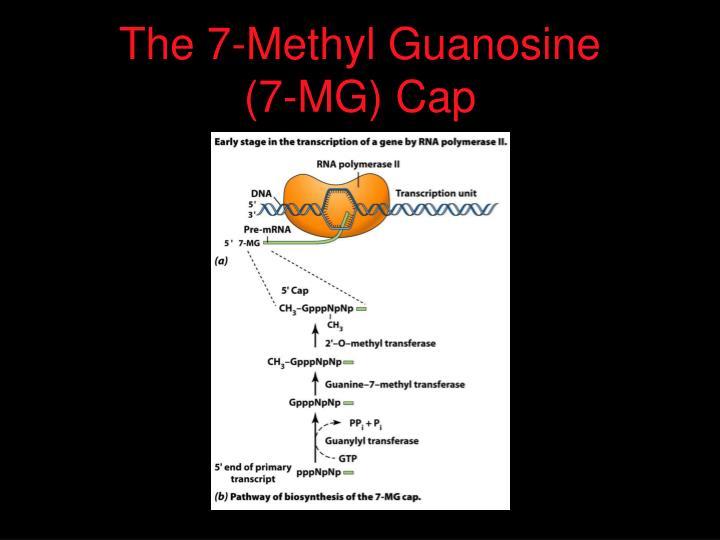 The 7-Methyl Guanosine