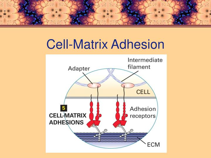 Cell-Matrix Adhesion