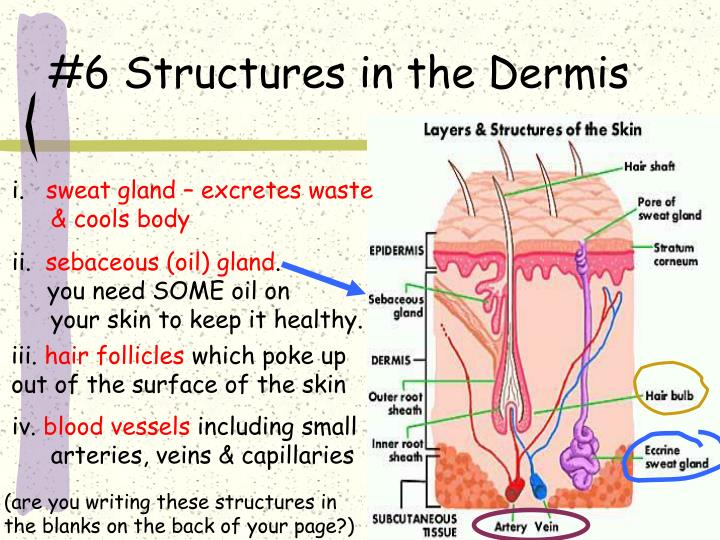 #6 Structures in the Dermis
