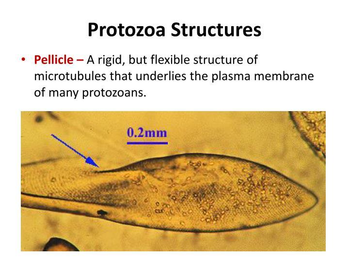 Protozoa Structures