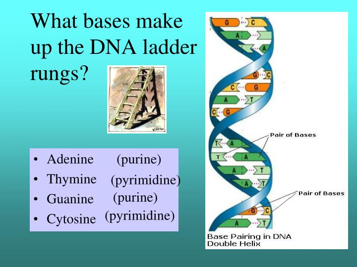 as well C0cc02118k as well Live dead furthermore Dna Replication Diagram moreover 31948. on dna helix labeled