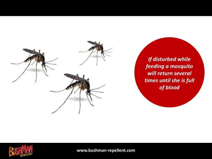 If disturbed while feeding a mosquito will return several times until she is full of blood