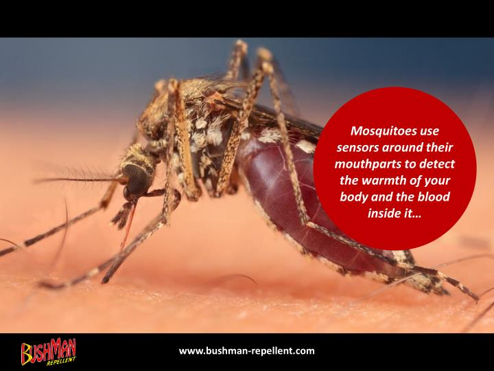 Mosquitoes use sensors around their mouthparts to detect the warmth of your body and the blood insid...