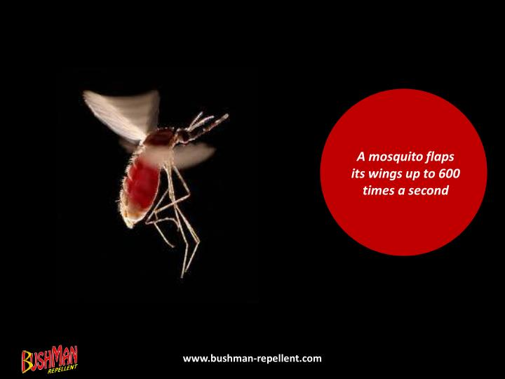 A mosquito flaps its wings up to 600 times a second