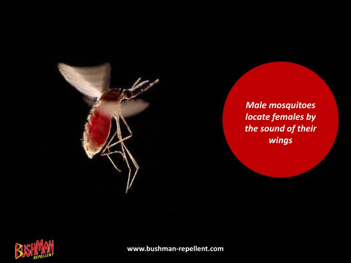 Male mosquitoes locate females by the sound of their wings