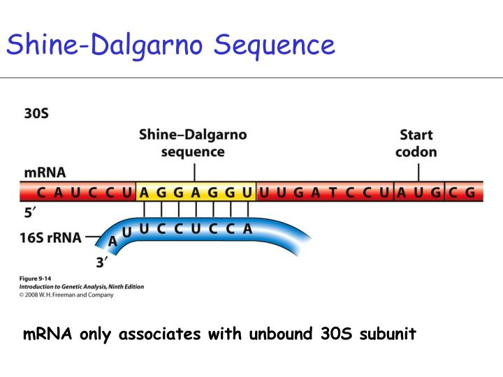 Shine-Dalgarno Sequence