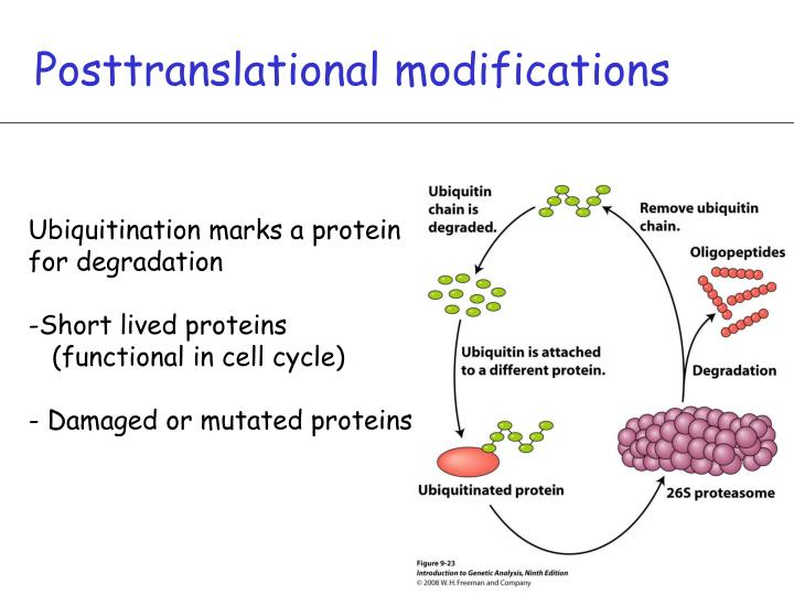 Posttranslational modifications