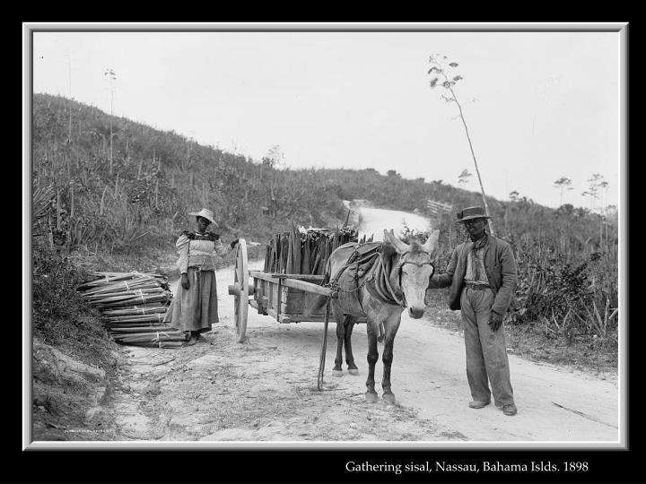 Gathering sisal, Nassau, Bahama Islds. 1898