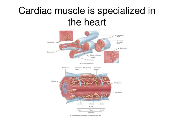 Cardiac muscle is specialized in the heart