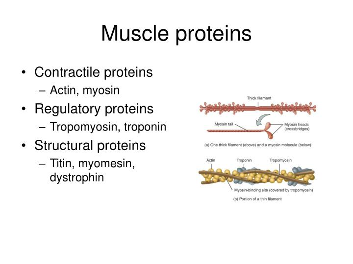 Muscle proteins