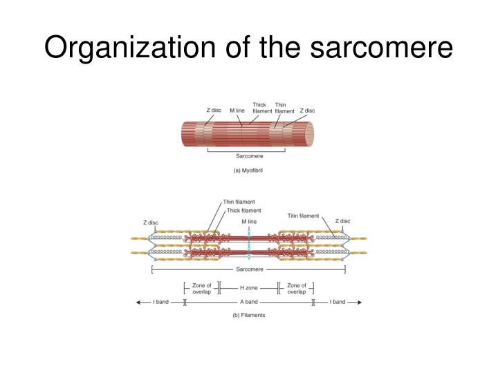 Organization of the sarcomere