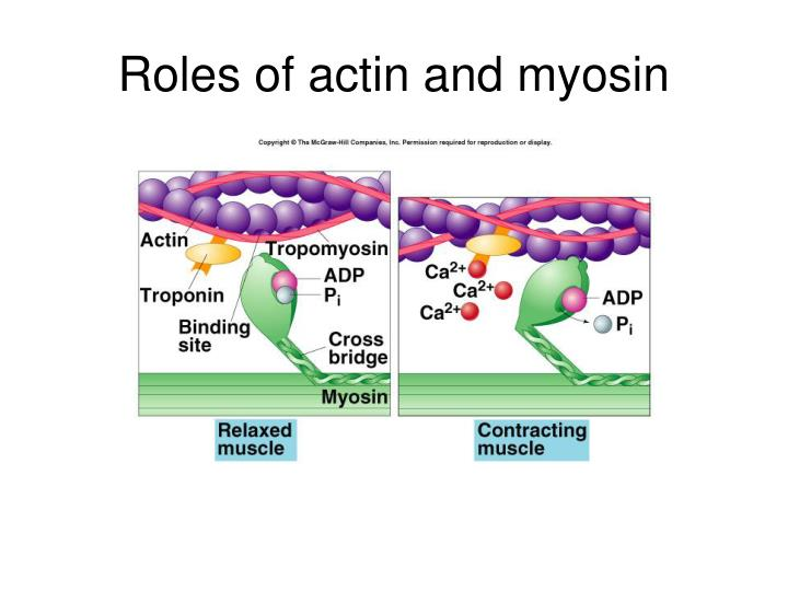Roles of actin and myosin