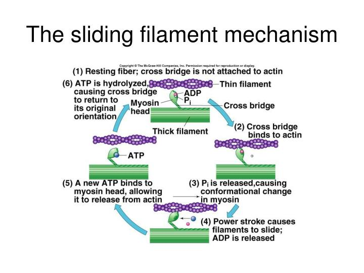 The sliding filament mechanism