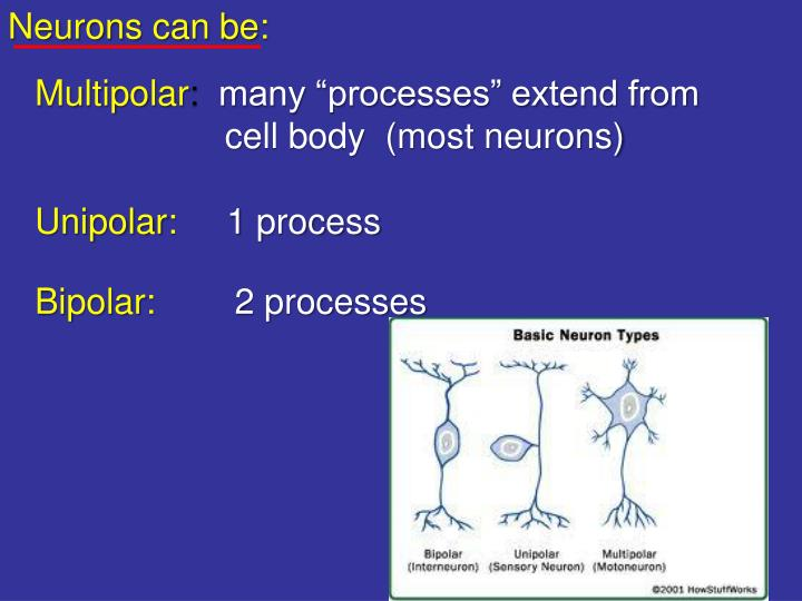 Neurons can be: