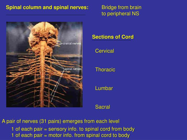Spinal column and spinal nerves: