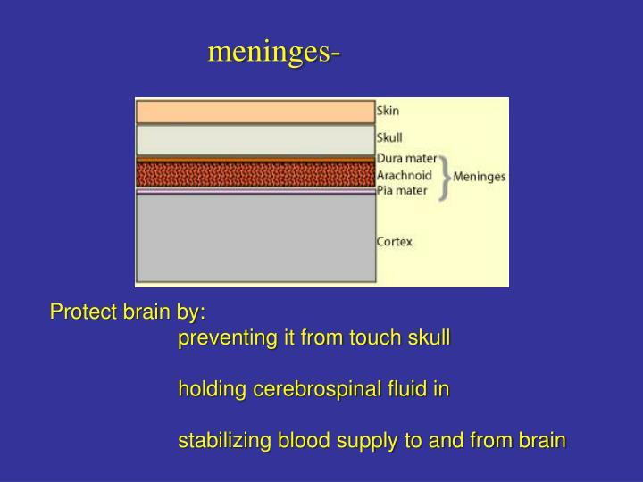 meninges-