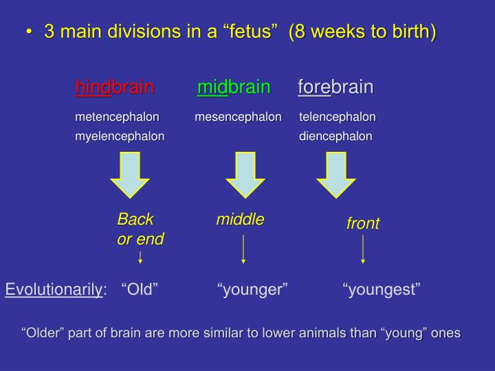 "3 main divisions in a ""fetus""  (8 weeks to birth)"