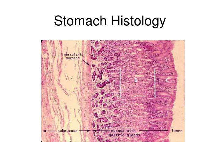 PPT - Stomach Histology PowerPoint Presentation - ID:3095088