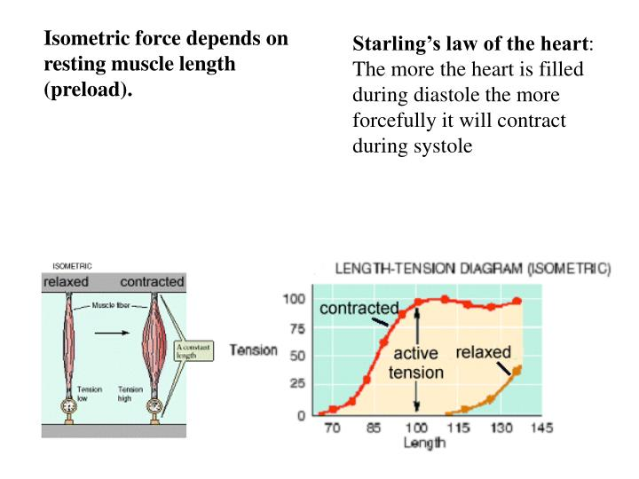 Isometric force depends on