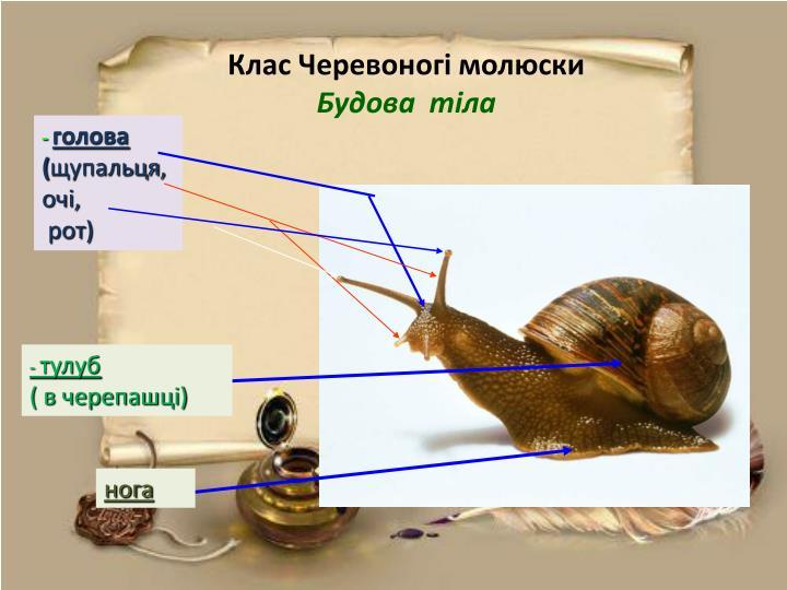 Клас Черевоногі молюски