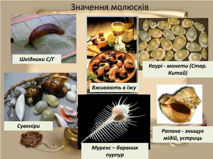 Значення молюсків
