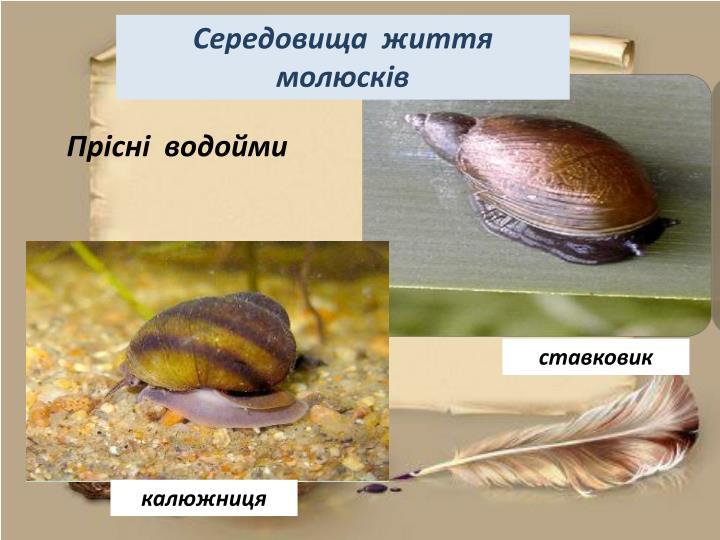 Середовища  життя   молюсків