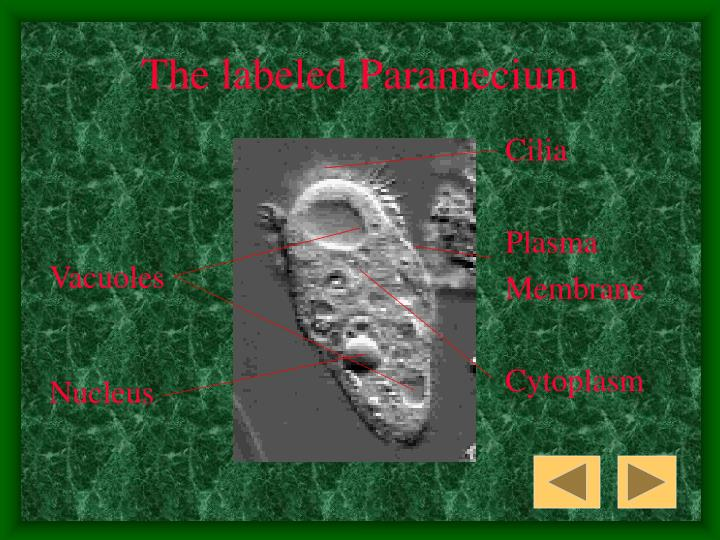 The labeled Paramecium