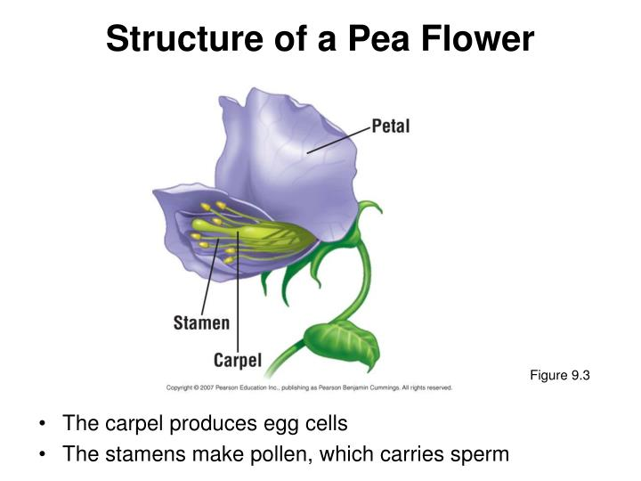 Structure of a Pea Flower
