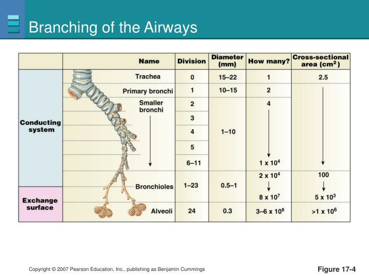 Branching of the Airways