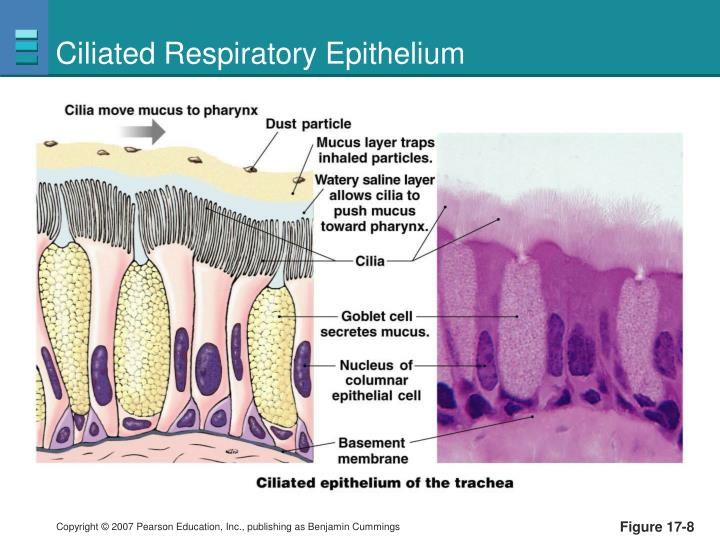 Ciliated Respiratory Epithelium