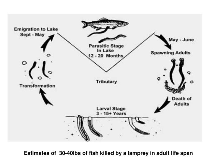Estimates of  30-40lbs of fish killed by a lamprey in adult life span