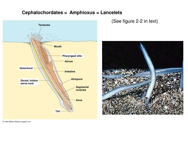 Cephalochordates =  Amphioxus = Lancelets