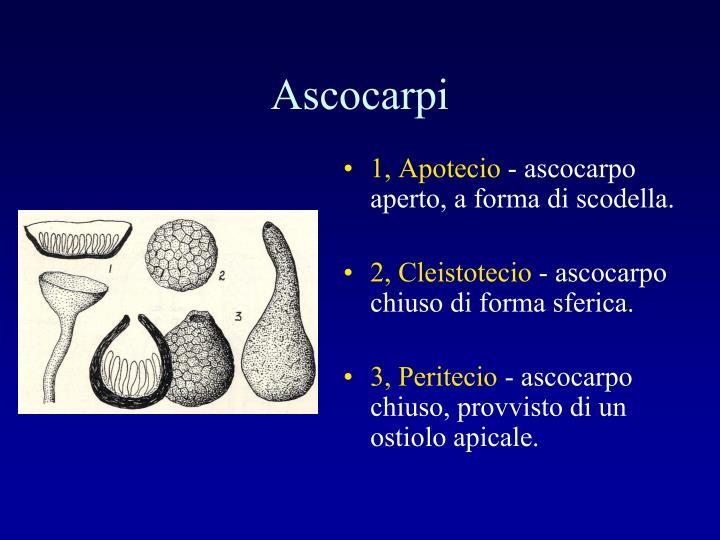 Ascocarpi