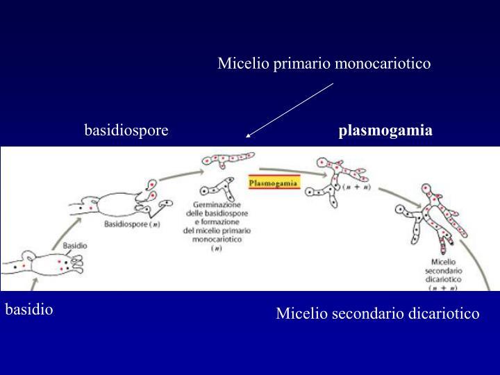 Micelio primario monocariotico